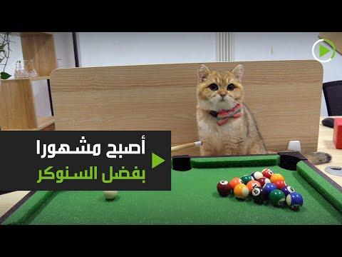 قط يتحول إلى حديث السوشيال ميديا بسبب ولعه بلعب السنوكر