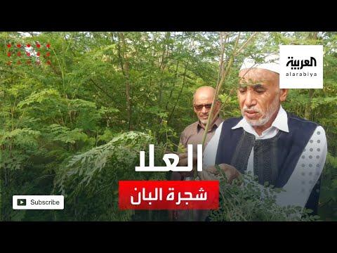 شجرة البان أيقونة الزراعة في محافظة العلا