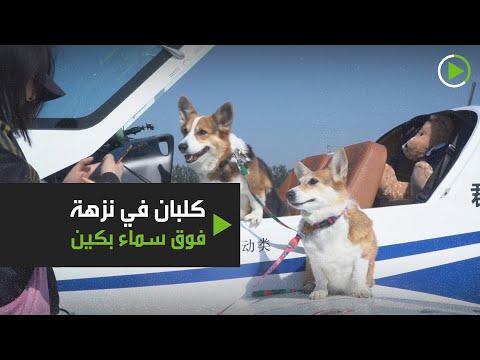 كلبان من سلالة كورغي ينضمان إلى مالكيهما في رحلة طيران فوق بكين